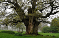 Navigation novelty-ancient-oak-pollard-7.48-m-in-Kimberley-Park,-Norfolk