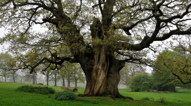 novelty-ancient-oak-pollard-7.48-m-in-Kimberley-Park,-Norfolk